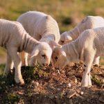 bárány tejpótló