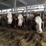 tejelő tehenek